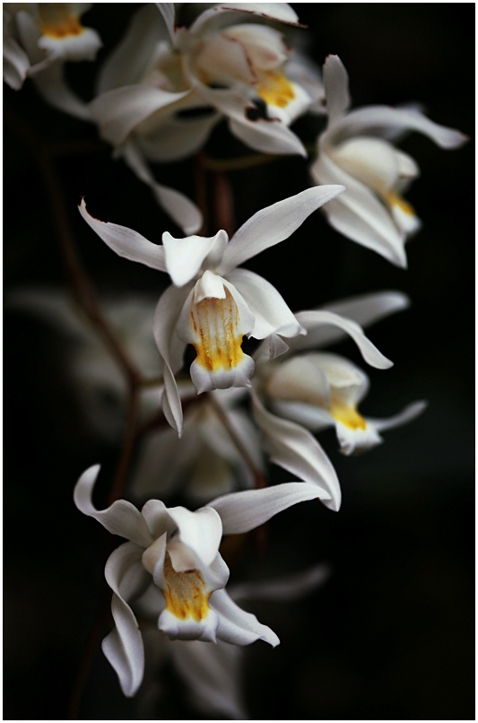 Coelogyne x Unchained Melody