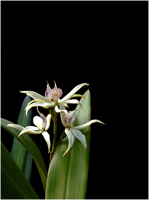Encyclia sp.